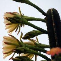 Кактус цветёт. :: Валерьян Запорожченко