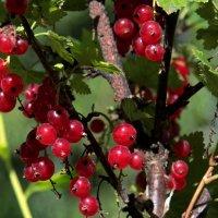 Смородины ягоды просто волшебные ! :: Маргарита ( Марта ) Дрожжина