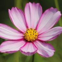 Цветы августа. Космея :: Наталья Герасимова
