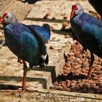 Синяя птица счастья... :: Светлана