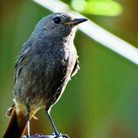 Горихвостка чернушка. :: vodonos241