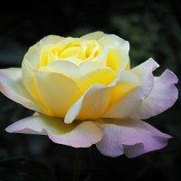 Августовская Роза :: Александр Орлов