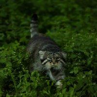 Манул.Дикий кот. :: Павел