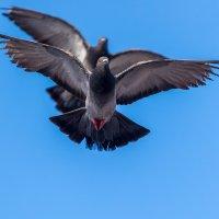 любовь и голуби :: Naum