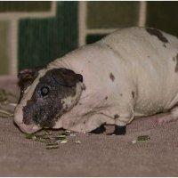 Лысая морская свинка порода Болдуин. :: Sergey (Apg)