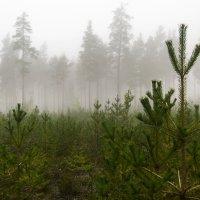 Туманные леса :: Nika Polskaya