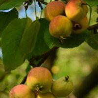 Лесные яблоки. :: Олег Рыбалко