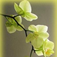 "Орхидея фаленопсис ""Амадеус"" :: super-krokus.tur ( Наталья )"