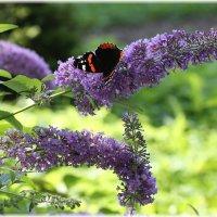 Бабочка на буддлее :: ZNatasha -