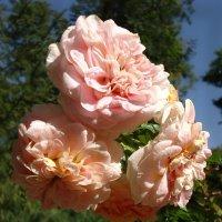Парящие розы :: Ирина