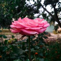 Роза :: Ayire lav Hcivona las