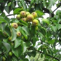 Груши сочные поспели и на дереве висели... :: Елена Павлова (Смолова)