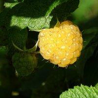 Жёлтая малина в сентябре :: Милешкин Владимир Алексеевич
