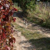 Пёс, который гуляет сам по себе... :: Владимир Безбородов