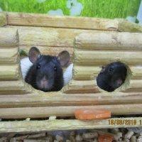 Крыски-малышки. :: Зинаида