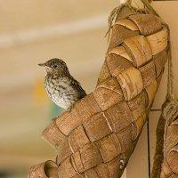 Через несколько секунд слёток серой мухоловки  покинет гнездо. :: Александр Смирнов