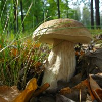 Белый гриб. :: Лия ☼