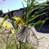 Сибирская бабочка :: Кэт Ви