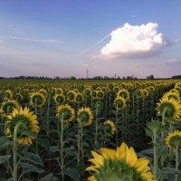 Самый солнечный цветок - подсолнух :: Кэт Ви