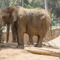 Слон :: Борис