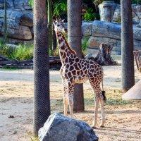 Молодой жираф :: Евгений Васильев