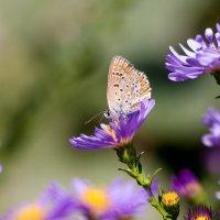 Бабочка на цветах :: Алена Д