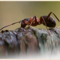 лесной муравей :: Pepsovich