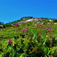 Бадан цветёт :: Сергей Чиняев