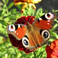 И снова о бабочках... :: Vladimir Perminoff