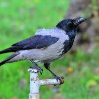 Ворона на водопое :: Константин Анисимов