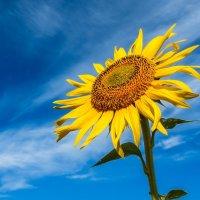 Солнечный цветок . :: Va-Dim ...