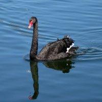 Чёрный лебедь :: Татьяна Георгиевна