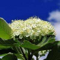 Боярышник цветёт :: Leonid Tabakov