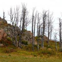 Мёртвый лес :: Татьяна Лютаева