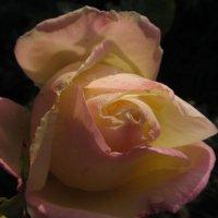 Осенняя роза. :: Farin Алёна