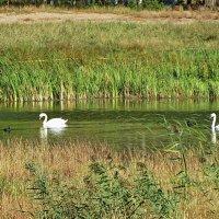 Лебеди на пруду :: Liliya Kharlamova
