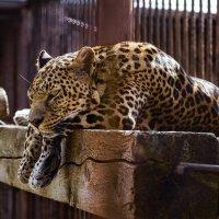 Леопард :: Ульяна Янтарь
