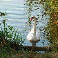 А белый лебедь на пруду..... :: Любовь К.