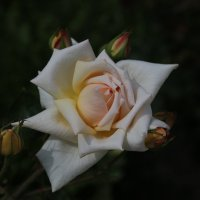 Роза :: ninell nikitina