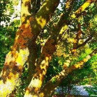 Лишайник на дереве. :: Любовь К.