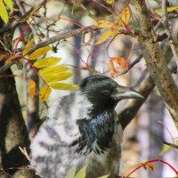 Ворона в красках осени.... :: Анна Приходько