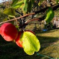 красные яблоки :: Владимир
