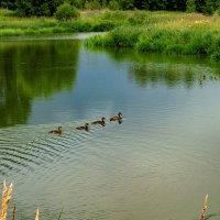 утки на озере :: Владимир Ефимов