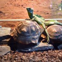 Сегодня на двух черепахах поеду) :: Владимир Звягин