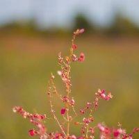 бурьян цветет :: Аркадий Баринов
