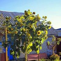 подсолнуховое  дерево :: Лера