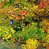 Разноцветные листья клена :: Натала ***