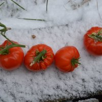 последний урожай  на первом снежку... :: леонид логинов