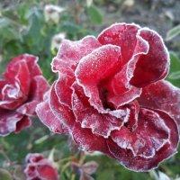 Покрывается инеем роза,замерзая в осеннем саду. :: Люба