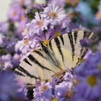 Бабочка :: Барашег Альпийский